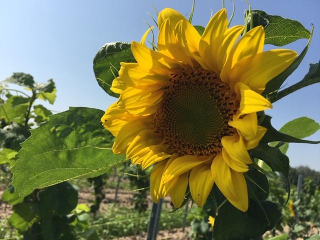 Eine Sonnenblume in der Nähe der Ferienwohnung in Bodenheim
